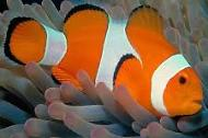Bicinctus Clown fish