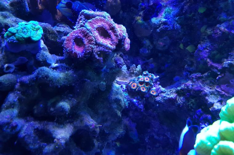 Eagle Eye (Zoanthid) Thumbnail