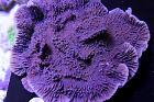 Idaho Grape Montipora Thumbnail