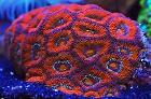 Red Acan Brain Coral Thumbnail