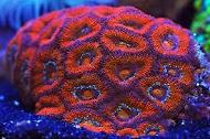 Red Acan Brain Coral