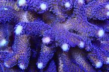 Purple Stylophora Coral White Tips