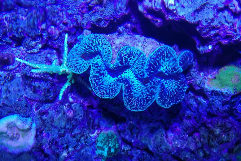 Red Sea Reefer 350 New Maxima Clam