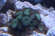 Zoanthid (green button)