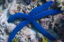 Blue Star Fish