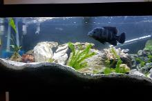 Freshwater African Cichlid on December 25, 2017
