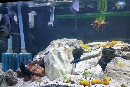 Freshwater African Cichlid on December 31, 2017
