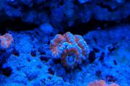 Blue Edges Acan Brain Coral