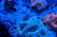 Blue and Purple Acan Coral