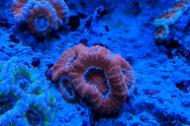 Orange Acan Brain Coral