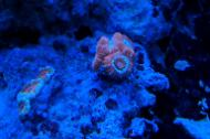 Red and Orange Stripped Acan Brain Coral