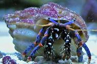 Blue Legged Hermit Crab