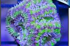 green and purple acan Thumbnail