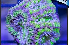 green and purple acan