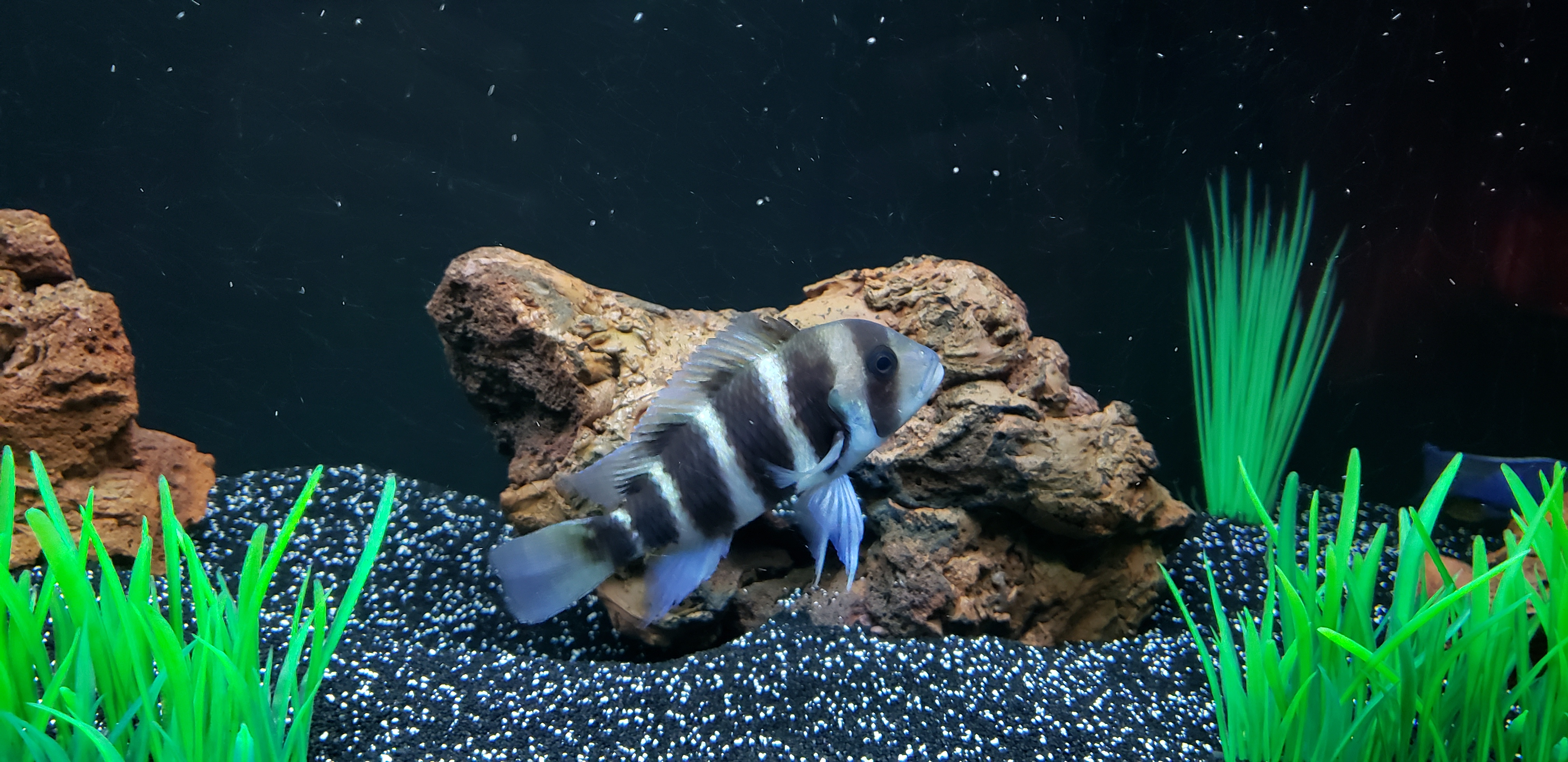 Mixes African Cichlids on May 1, 2018
