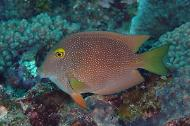 Spotted Bristletooth Tang