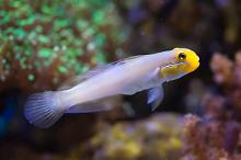 Sleeper Gold Head Goby