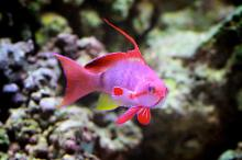 Red Lyretail Anthias