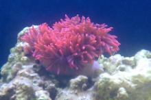 Rose Bubble-tip Anemone