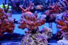 Pocillopora Cauliflower Coral (Purple) Thumbnail