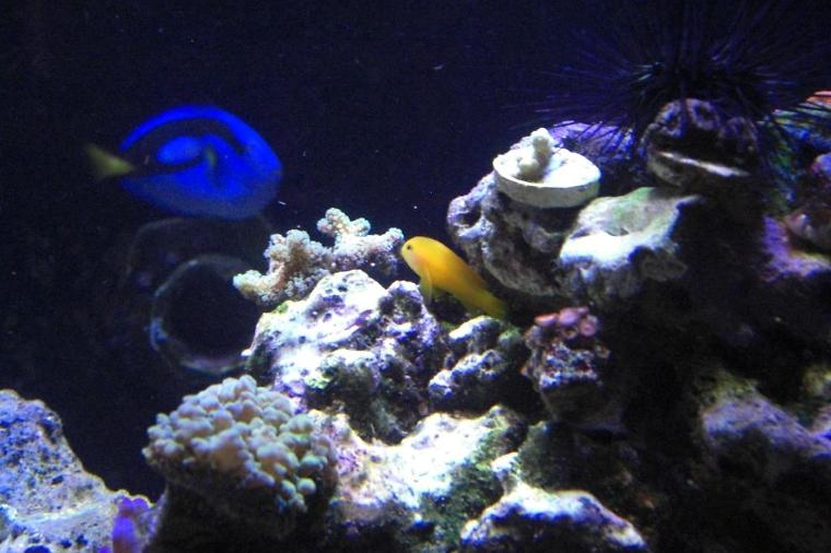 Yellow Clown Goby Thumbnail