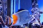 Pearlscale Butterflyfish Thumbnail
