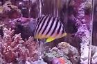 Multibarred Angelfish Thumbnail