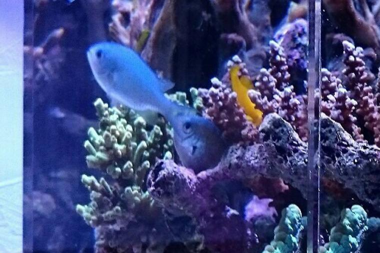 adventurous BLUE-GREEN CHROMIS Thumbnail