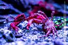 Arm Wrestling Ruby Red Mithrax Crabs!
