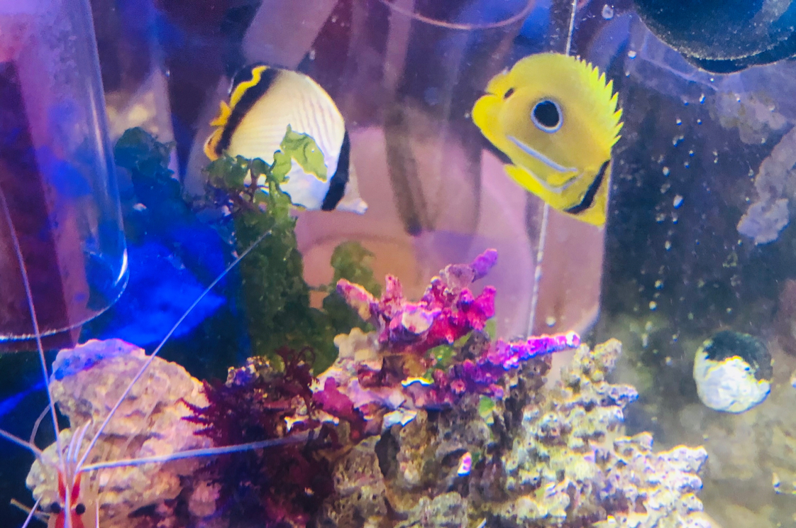 playful ECLIPSE BUTTERFLY FISH