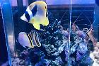 prim RACCOON BUTTERFLYFISH
