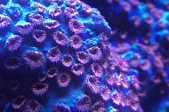 Meteor Shower Coral