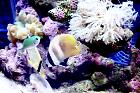 big-eater SUNBURST BUTTERFLYFISH Thumbnail