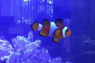 Female Ocellaris Clownfish