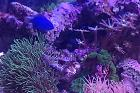 minuscule BLUE DAMSELFISH Thumbnail