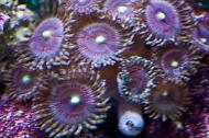 Blushing Bride Zoanthids