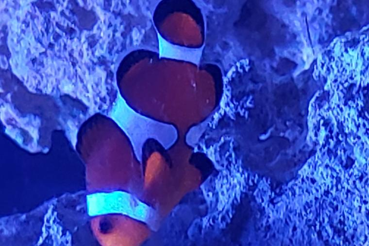 orange clownfish Thumbnail