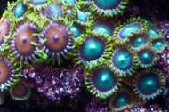 Radioactive Dragon Eye (Zoanthid)