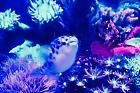 GREEN SPOTTED PUFFER loving soft corals Thumbnail