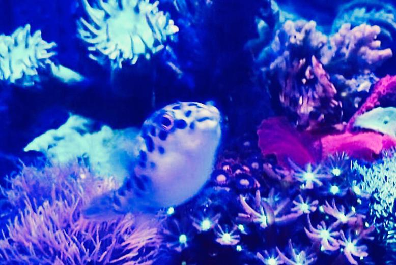 GREEN SPOTTED PUFFER loving soft corals