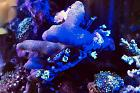 YELLOW FINGER CORAL with entourage Thumbnail