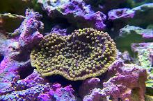 Purple Scroll Coral on April 26, 2019