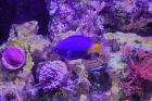 Yellowtail Damselfish Thumbnail
