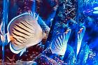 Dot and Dash Butterflyfish Thumbnail