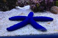 Linckia Sea Star