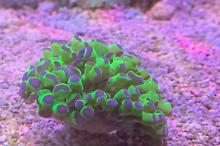 Hammer Coral - Green Purple-tipped Indo