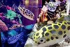 Green Spotted Puffer Thumbnail