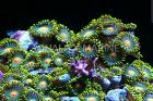 Green Bay Packer zoanthid colony