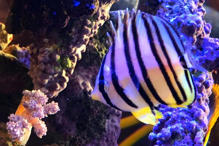 Eight-banded Butterflyfish Thumbnail