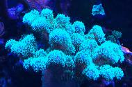 Stylophora Coral